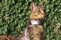 Savannah Cat Mania