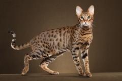 Kiwanga Savannah Cats