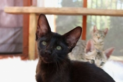 The Cats Among Us - F5 SBT - Melanistic