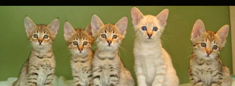 Savannah Cat Breeders – TICA's Official Savannah Breed Section