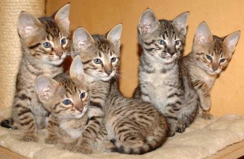 Kiwanga Savannahs F7 SBT Kittens